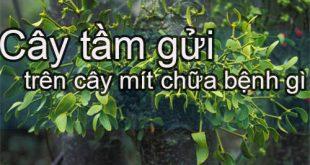 tac-dung-cua-cay-tam-gui-tren-cay-mit
